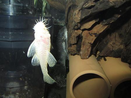 20130815 45cmプレコ水槽のアルビノミニブッシーとキングロイヤルペコルティア