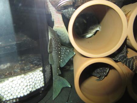 20130822 45cmプレコ水槽のブルーフィンペコルティア