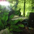 20130905 60cmコリドラス水槽のドジョウ達