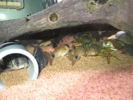 20140124 60cmコリドラス水槽のコリドラス達