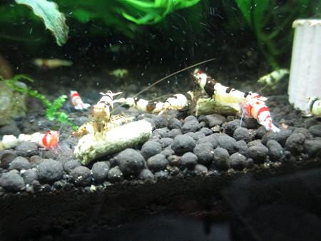 20140124 60cmエビ水槽の秘密の草の食い付き