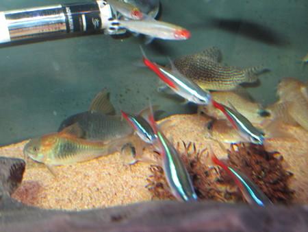 20140223 60cmコリドラス水槽のコリドラス達