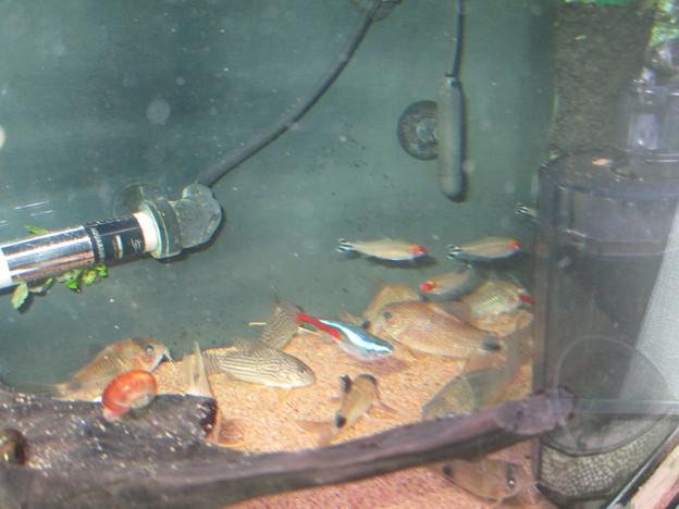 Photos: 20140321 60cmコリドラス水槽のネオンテトラ達