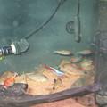 20140321 60cmコリドラス水槽のネオンテトラ達