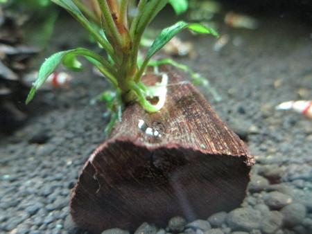 20140321 60cmエビ水槽の稚エビ