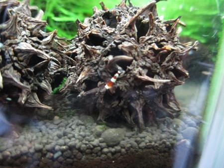 20140406 60cmエビ水槽の稚エビ