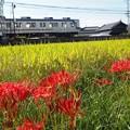 Photos: 彼岸花と田んぼと時々電車