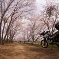 Photos: 土手の桜トンネル_1