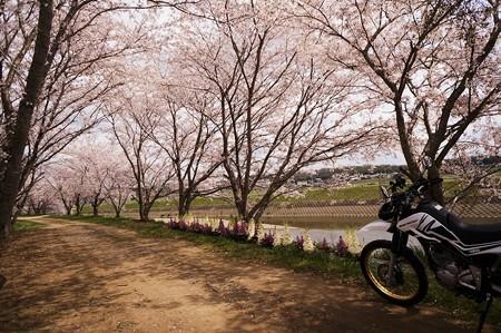 土手の桜トンネル