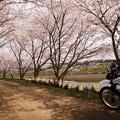 Photos: 土手の桜トンネル