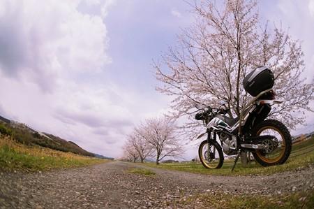 砂利道の桜