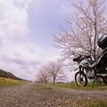 Photos: 砂利道の桜