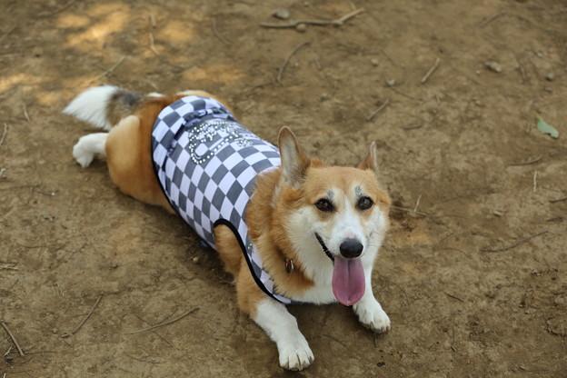 以前、ミルカの元飼い主さんからいただいた服を着せる。