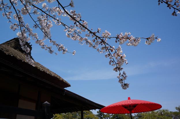 茅葺屋根と赤い唐傘と桜と