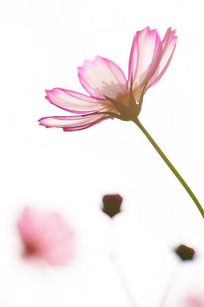 Photos: コスモスの花が風に揺れる