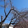 Photos: 折れた十月桜