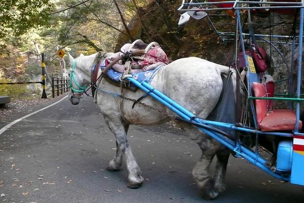 トテ馬車の白馬