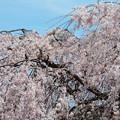 1261雲上の桜