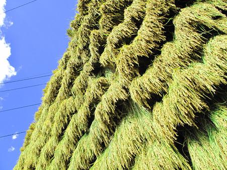 IMG_4971 収穫の秋だね