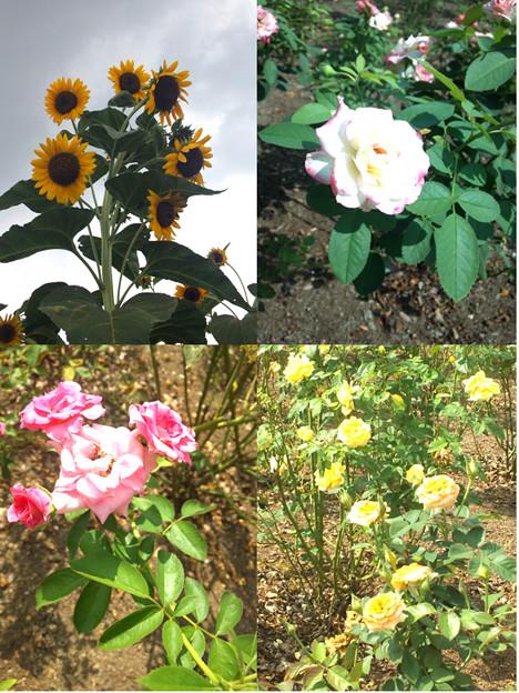 公園の花1