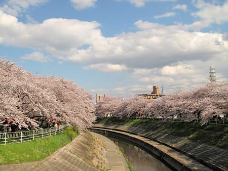 IMG_7743 香流川桜