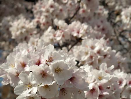 IMG_7740 香流川桜