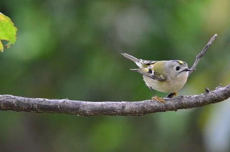 日本一小さな小鳥=キクイタダキ