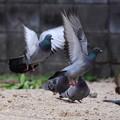 飛び立つ鳩