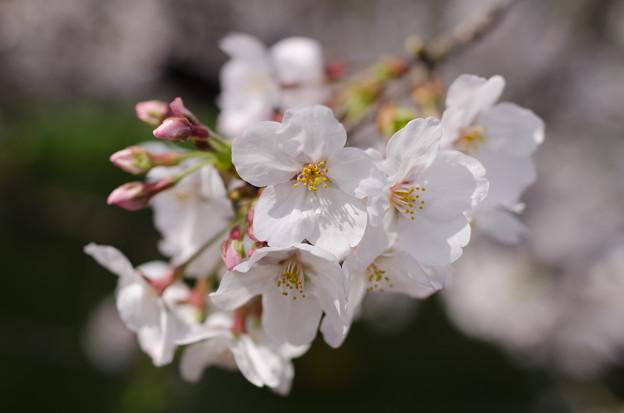 Photos: 2013 桜