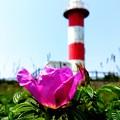 ハマナスの咲く頃~石狩灯台の夏~