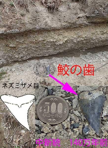 鮫の歯の化石