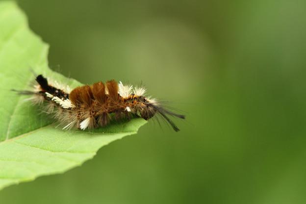 マメドクガ幼虫(2012/05/17 愛知・海上の森)