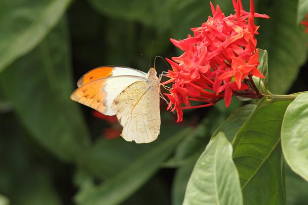 ベニデマリで吸蜜するツマベニチョウ♂(2013/08/05 おきなわワールド)