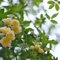 モッコウバラも開花♪
