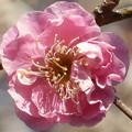 写真: 一輪の紅梅の花