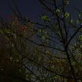 写真: 夜の白梅と紅梅