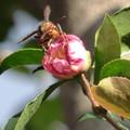 Photos: せっかちなハチ!?