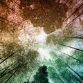 写真: 見上げた竹林の空