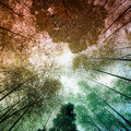 Photos: 見上げた竹林の空