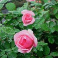 Photos: a rose in the rain