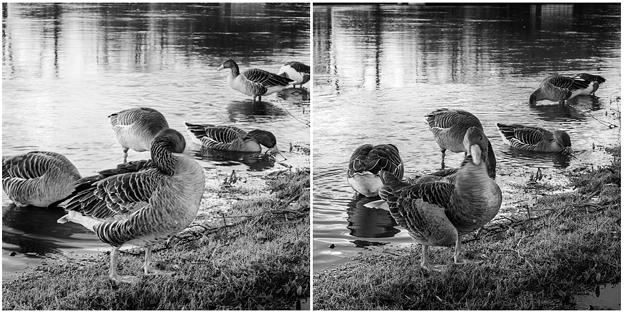 Photos: B&W Ducks カモ in Oxford
