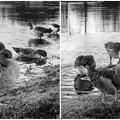 写真: B&W Ducks カモ in Oxford