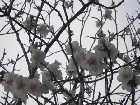 -12013桜