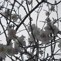 写真: -12013桜