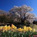 Photos: 越代の桜