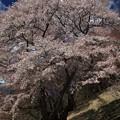 Photos: 新田の桜