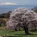 西蔵王の桜