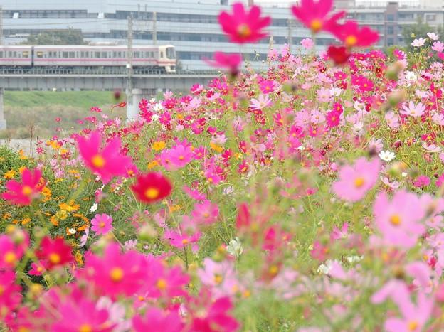 Photos: 河川敷のコスモス畑
