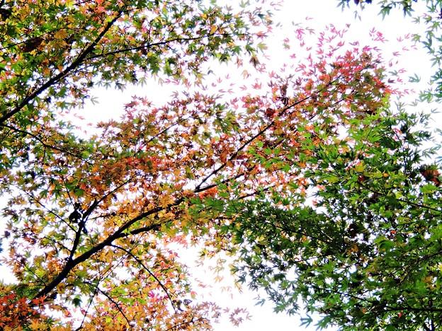 高尾の紅葉