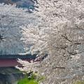 Photos: 桜の下で…
